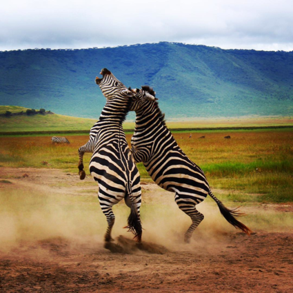 Fighting zebras!