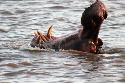 gapend nijlpaard