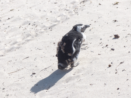 Zuid Afrikaanse Pinguin