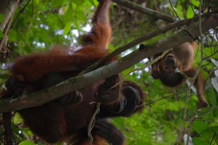 I see you! - Wilde Oerang Oetangs in Kalimantan, Borneo.