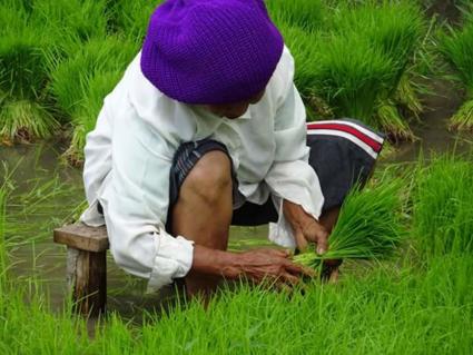 Rijst plukken op Bali