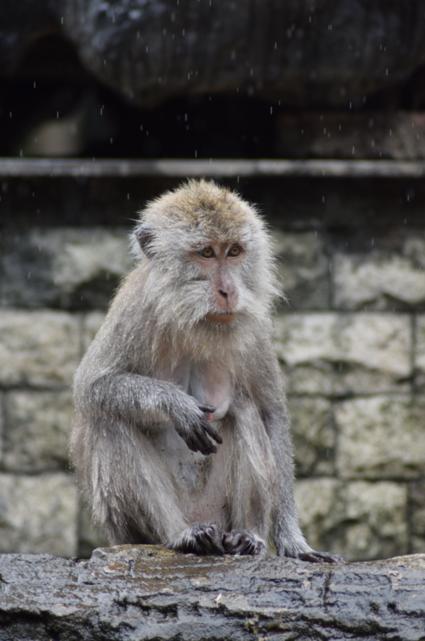 Makaak in het laatste regen van het Jaar
