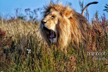 Grommende Leeuw