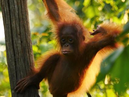 Baby oerang oetang Kalimantan