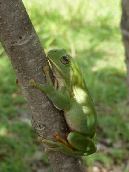 Prachtige groene kikker