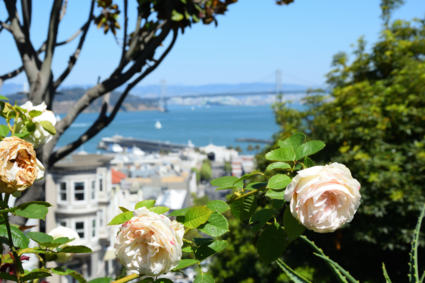 Roses in San Francisco