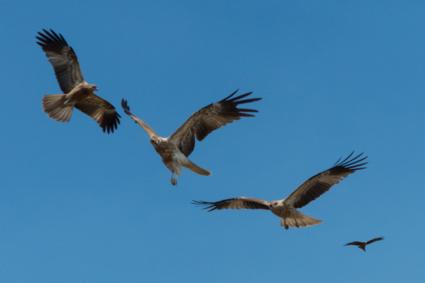 Roofvogels cirkelen boven Adelaide River