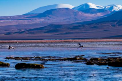 Flamingo Runaway bij rood vulkanisch meer