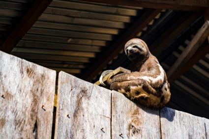 Chillende luiaard op een houten hut in de Amazone