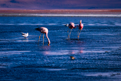 Flamingo fight