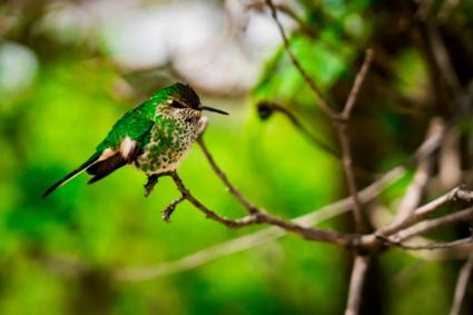 Kolibri in de andes