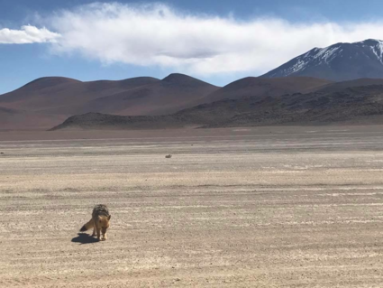 Lonely coyote