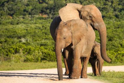 Creatieve Olifantenpose in Addo Elephant national park, Zuid Afrika