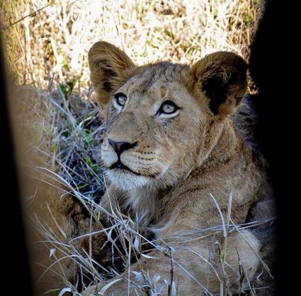 Een leeuwenwelp gefotografeerd door de kieren van de jeep