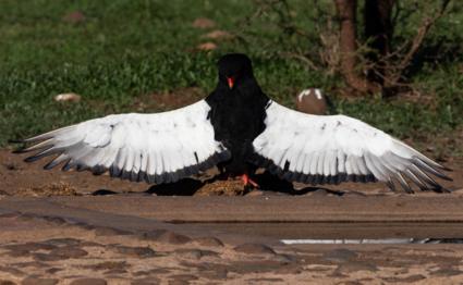 Bateleur Krugerpark.
