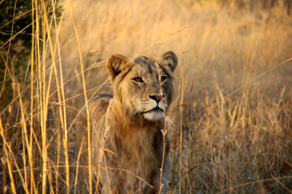 Leeuw in Kruger Park bij zonsopkomst