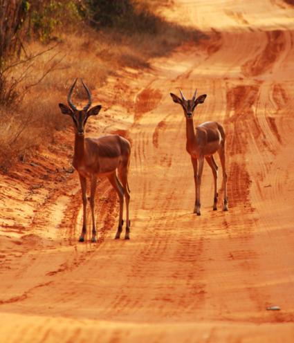Impala's at hluwluwe