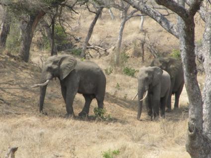 Olifanten in het krugerpark.