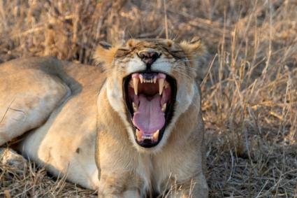 Leeuw in Krugerpark