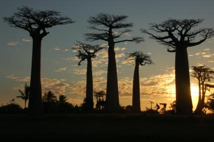 Avenue de Baobab bij zonsondergang